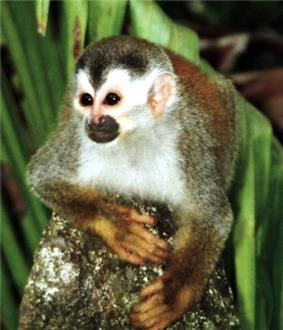 Small monkey with white face, black eyes and nose and dark head and widow's peak facing forward