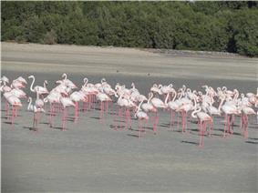 Flemingos from Rasal khore wildlife sanctuary.JPG