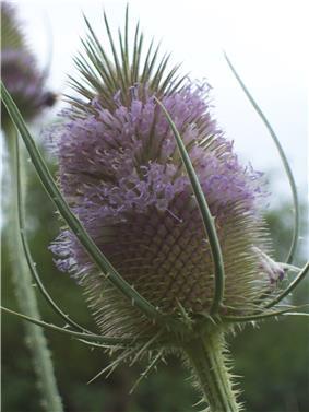 Dipsacus fullonum flowerhead