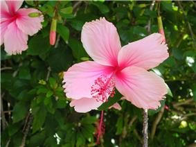 Flickr - brewbooks - Pink Hibiscus - Brisbane (1).jpg