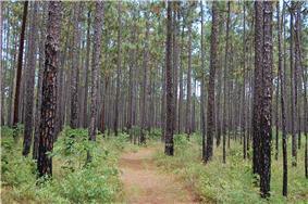 A trail through pine forest.