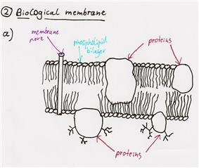 Fully functional membrane