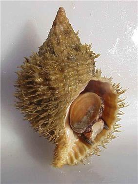 A light brown shell, covered with gray-brown bristly periostracum.
