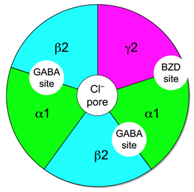 Figure of the GABAA receptor complex where the five subunits (two alpha, two beta, and one gamma) are symmetrically arranged in a pentagon shape about a central ion conduction pore. The location of the two GABA binding sites are located between the alpha and beta subunit, while the single benzodiazepine binding site is located between the alpha and gamma subunits.