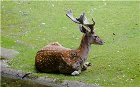 A Persian fallow deer buck lying in the grass.