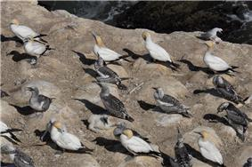 Gannets at Muriwai; adults and one young bird