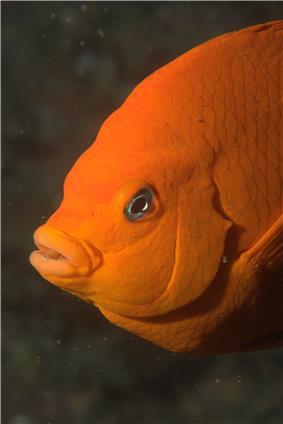 Garibaldi fish closeup.jpg
