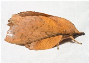 A brown moth with prominent snout on a white horizontal surface.