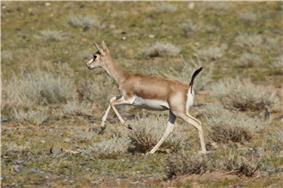 Gazella subgutturosa.jpg