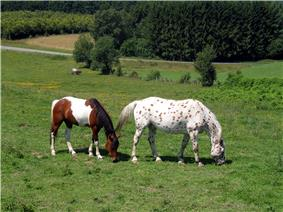 Two horses in a grassy field with trees and a road in the background. Both horses are colored brown and white, but the horse on the left has the colors in patches, while the horse on the right is spotted.