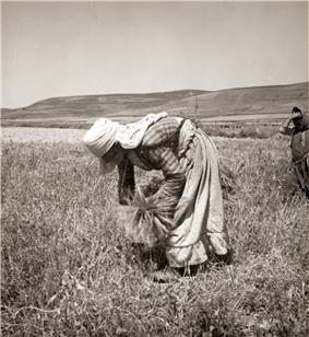 Woman bent over, picking up leftover grain