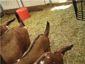 Several goats are shown with tails sticking either straight out or tilted up.