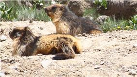 Golden-Marmot in deosai plains
