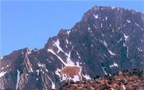 A mountain goat below Granite Peak.