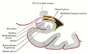 Choroid plexus.