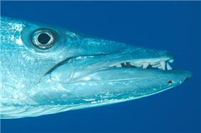 Photo of barracuda head in profile with jaw extended