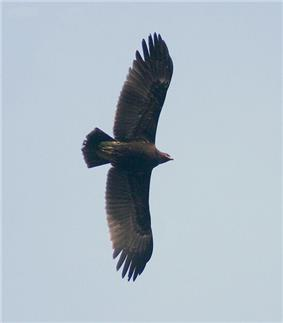 Great spotted Eagle I IMG 8302.jpg