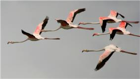 Greater Flamingoes (Phoenicopterus roseus) in flight W IMG 0081.jpg