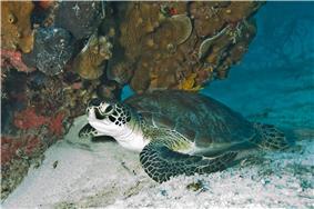 Sea turtle coming ashore