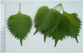 green shiso leaves