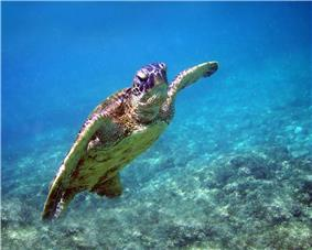 Turtle swimming toward surface