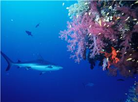 Photo of shark swimming next to coral drop-off