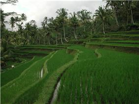 Rice terrace at entrance to Gunung Kawi temple demonstrate the traditional Subak irrigation system, Tampaksiring, Bali.
