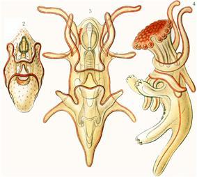 Starfish larvae