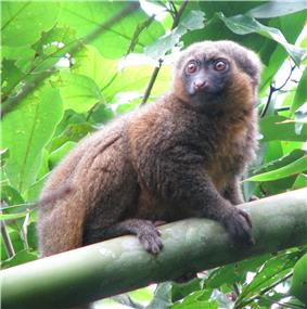 Bamboo lemur perched on a horizontal piece of bamboo