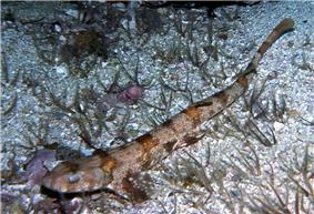 A small shark with a broad, flattened head, covered with small white spots and orange-brown saddle-like markings, resting on a gravel sea bed