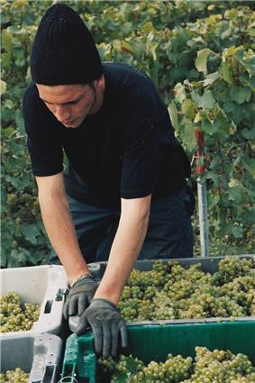 Colour photo showing a harvester at work in Champagne.  This operator places rows of plastic crates full of white grapes on the trailer of a tractor.  The golden hues of ripe grapes can be seen.  In the background, a wire frame supports the foliage of the vine.