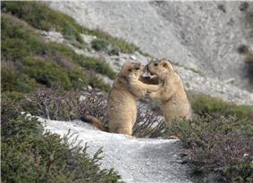 Himalayan marmots.jpg