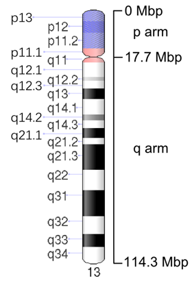 Map of Chromosome 13