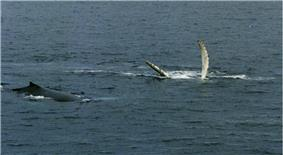 Photo of two whales, one lies on its back with fins outstretched above the surface