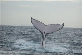 Photo of vertical humpback displaying only white tail underside and rear body segment