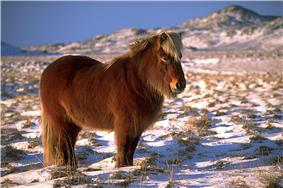 A long haired dark horse standing in snow covered grass with mountains in the background