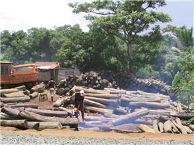 A Malagasy man uses a chainsaw in the middle of several </p>         large piles of 1- to 2-meter rosewood logs