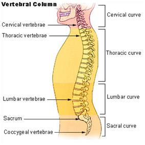The lumbar region in regards to the rest of the spine