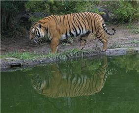 A tiger walking left along the side of green water, its reflection can be seen in the water