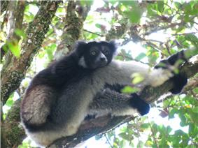 Indri sitting on a tree branch resting, with head placed on its knee