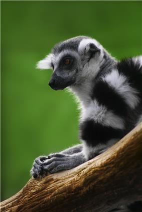 Ring-tailed lemur resting with hands on wooden branch