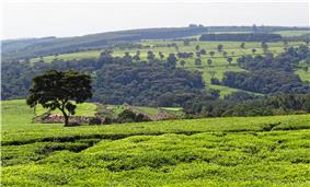 A tea plantation near Kericho in the Kenyan highlands.