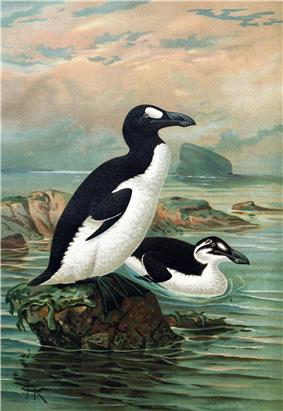 A large bird with a black back, white belly, and white eye patch stands on a rock by the ocean, while a similar bird with a white stripe instead of an eyepatch swims.