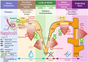 Nephron Ion flow diagram