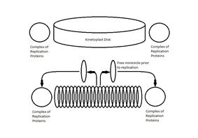 Illustration of location of protein replication complex to kinetoplast and migration of minicirlces to protein complex.