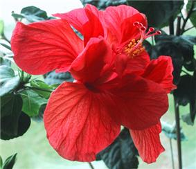 Solid red flower