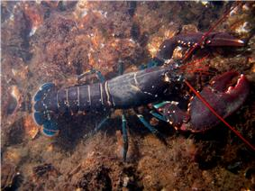 A bluish lobster walks over the sea-floor. It uses four pairs of thin legs to walk, holding its large claws in front of it. Its tail extends straight behind it, while the long, red antennae jut forwards from its head.