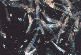 Photo of krill in water