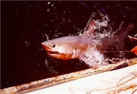 Shark breaking the water surface next to a ship, with a fishing line coming from its mouth