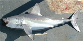 Side view of a gray torpedo-shaped shark with a pointed snout and a crescent-shaped tail